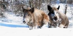 Охота на кабана в Хмельницкой области