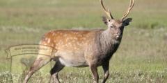 Полювання на оленя 2014