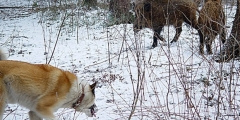 Способы охоты на кабана