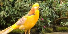 Все о фазане
