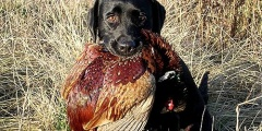 Hunting for pheasant with hunted dogs in the Khmelnitsky region