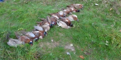 Video. Hunting for pheasant 10/04/2014, Parhomivtsi