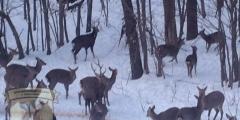 Охота на оленя: Особенности